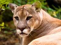 Cougar Animal Totems