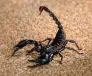 Scorpion Animal Totems