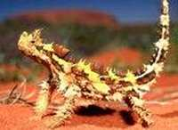 Thorny Devil Animal Totems
