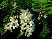 Acacia Flora