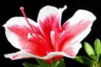 Azalea Flora