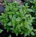Basil Flora