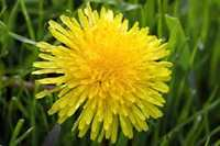 Dandelion Flora
