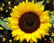 Sunflower Flora